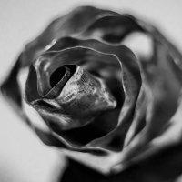 Железная роза :: Алексей Шевкунов