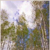 Берёзовое небо :: Кай-8 (Ярослав) Забелин