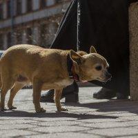 Городская собачка... :: Владимир Питерский
