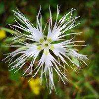 Улыбчивосолнечный цветок :: Александр Кузнецов