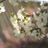 Вишня в оттенках персика :: Алексей Салло