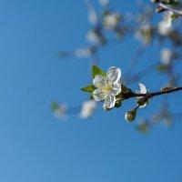цветок весны :: Горный турист Иван Иванов