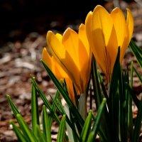 Цветы весны :: Милешкин Владимир Алексеевич