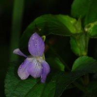 синенький цветочек :: sergej-smv