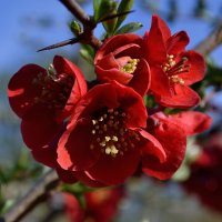 Цветение айвы :: Olena