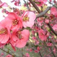 Весна.Цветение японской айвы :: Виктория Попова