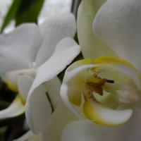 орхидея :: Наталия Шляхтова