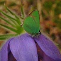 Крошечная бабочка на цветке Сон-трава :: Альберт Беляев