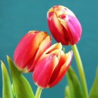 Тюльпаны :: Андрей Тимохин