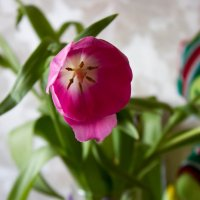 Цветы к 8 марта :: Ольга Орлова