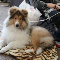 Выставка собак 12.02.2012 :: Андрей Юзеев