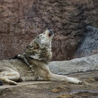 Песни волка :: Сергей Котусов