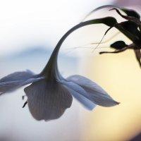Цветок :: Александр Идикеев