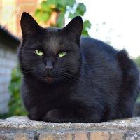 черный кот :: Валера Горбань