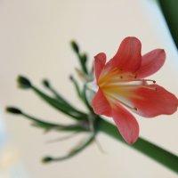 Цветок Кливии. :: Наталья Соколова