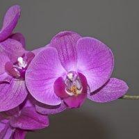 Орхидея :: Екатерина Исаенко