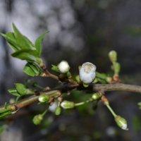 Цветочек алычи :: Света Насонова