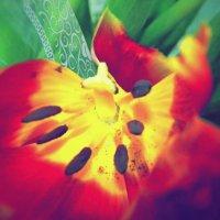 Жизнь тюльпана. Вид сверху. :: Vera kvs