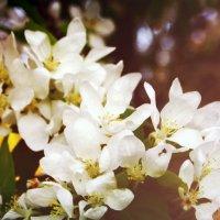Цветущая яблоня :: Полина Хаустова