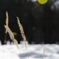 Зимняя травинка :: Алексей Куксов