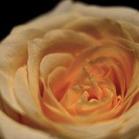 Бутон розы :: Natalia Morozova