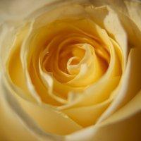 Бутон кремовой розы :: Natalia Morozova