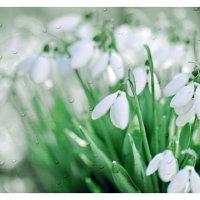 Первые цветы весны. :: Алексей Хаустов
