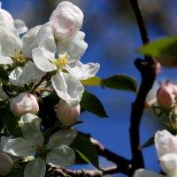 Яблоня в цвету :: Олег Волков