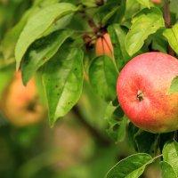 Поспели яблочки в саду :: Олег Волков