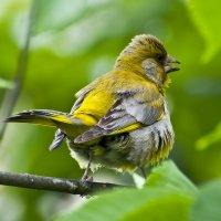 Если птичку разозлить ....... :) :: Nikolay T