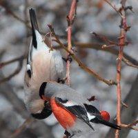 Весна - пора любви.. целующиеся снегири :: Мария Макарова