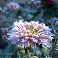 Иней кружевом урасил хризантемы в саду :: ольга хадыкина
