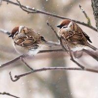 Два воробушка сидели... до апреля за неделю... :: Анатолий Тимофеев