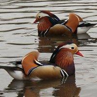 птицы в пруду :: Anastasia Petrova