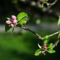 Яблоня в цвету :: Ксения Троеглазова