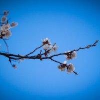 Цветут абрикосы :: Сергей Касимов