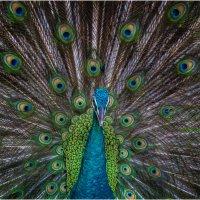 Гипнотизирующая поза павлина!!! Парк птиц,Малайзия! :: Александр Вивчарик