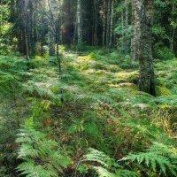 Утренний лес... :: марк