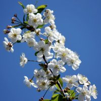 Нарядное цветение вишни. :: оля san-alondra