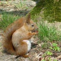 (С) Белка песенки поет и орешки все грызет :: Oxi --