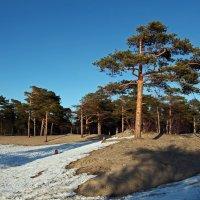 Северодвинск. Весна наступает. Бор :: Владимир Шибинский