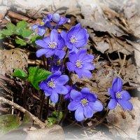цветы весны 2 :: Galina