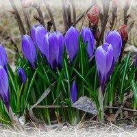 цветы весны 3 :: Galina