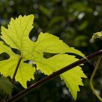 Лист винограда :: Владимир