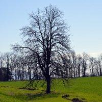 дерево 2 :: Роман Небоян