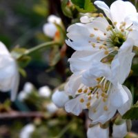 Цветы черешни... :: Тамара (st.tamara)