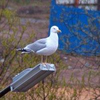 серебристая чайка :: gawrilа - dan