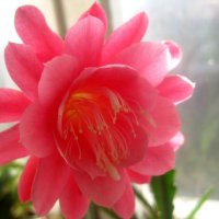 Сияющий, прекрасный цветок филлокактуса :: Елена Семигина