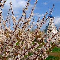 Цветут абрикосы. :: Чария Зоя