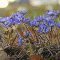 Под солнышком весенним подснежники цветут.... :: Елена Kазак